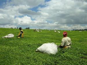 Teapickers near Kericho...