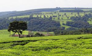 Kenya tealand near Kericho