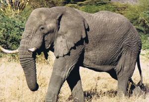 Tusker genoemd naar de slagtanden van een Olifant...