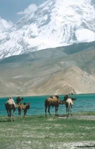Ontsnapte bactrische kamelen...