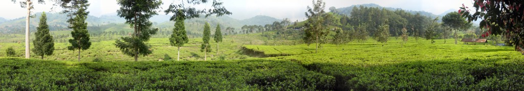 Tea_fields_-_Puncak_Pass_-_Indonesia_-_Wide