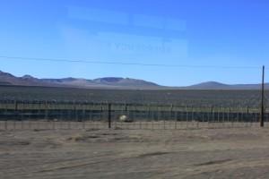Plantages waar druiven voor tafelwijn worden verbouwd...