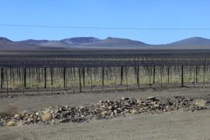 Deze plantages worden geirrigeerd met water uit de Oranjerivier...