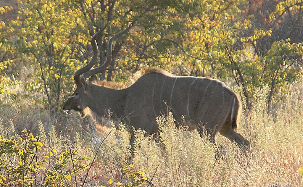 Kudu at early dawn...