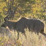 Kudu at early dawn...
