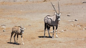 Oryx with young...