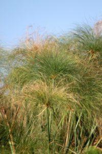 Papyrus plant...