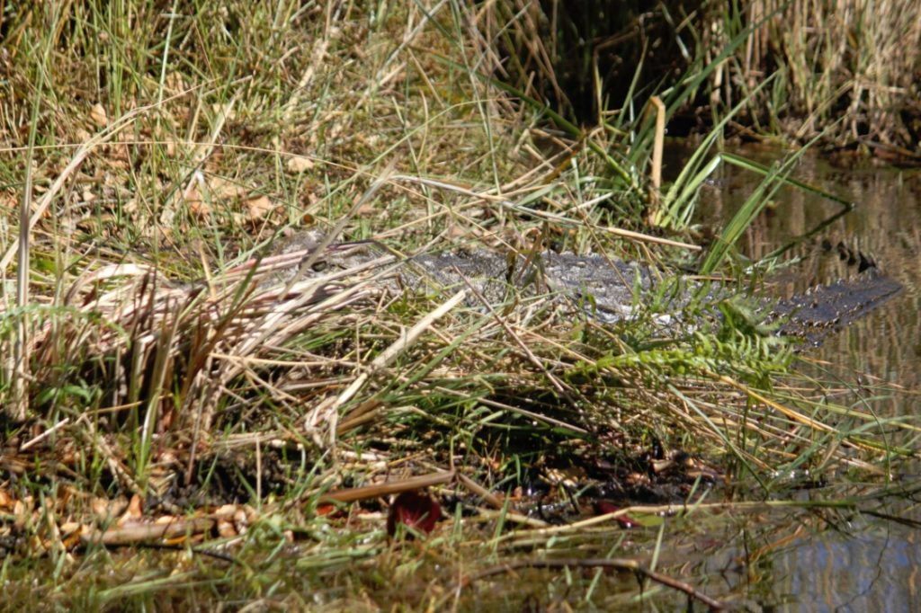 Camouflaged crocodile...