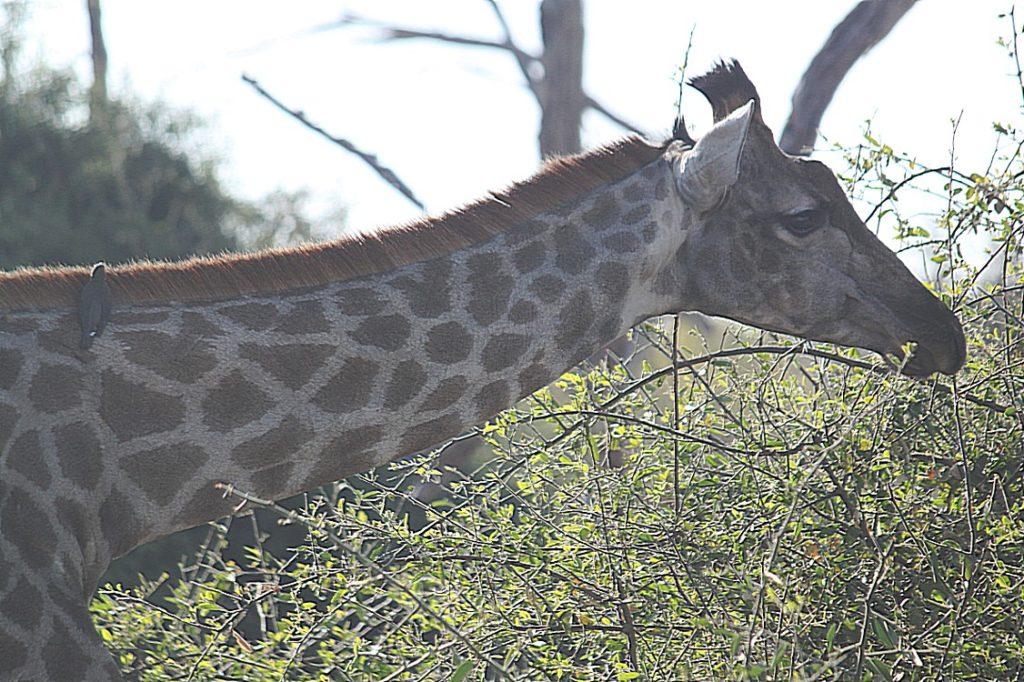 botswana_chobe_2015_img0133